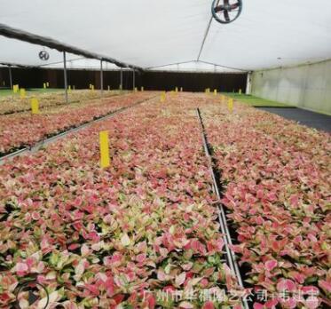 低价高档室内绿植新品种粗肋草 吉利红穴盘苗 厂家花卉种苗批发