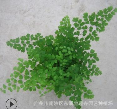 大量低价室内绿植铁线蕨A90杯 广州园林花卉植物迷你小盆栽批发