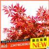 苗圃直销日本红枫树美国红枫盆栽花卉 绿化苗木 风景树苗木批发