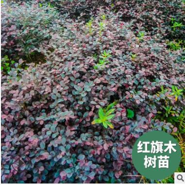 批发红旗苗木枫树基地直供绿化植物园林种植