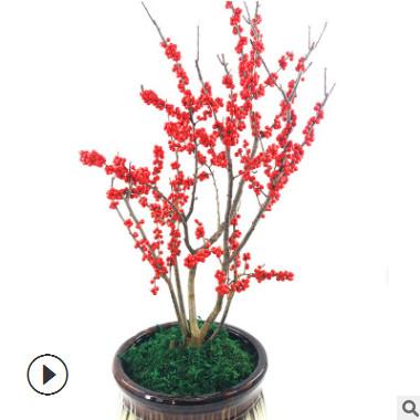 基地直销北美红果冬青盆栽 欧洲红果冬青树 红果室内外种值盆景