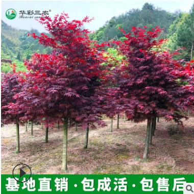 基地批发红枫树 日本红枫红舞姬中国红枫 南北方种植庭院四季红枫