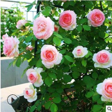 基地批发爬藤月季粉色龙沙宝石欧月红龙月季树藤本月季盆栽大花
