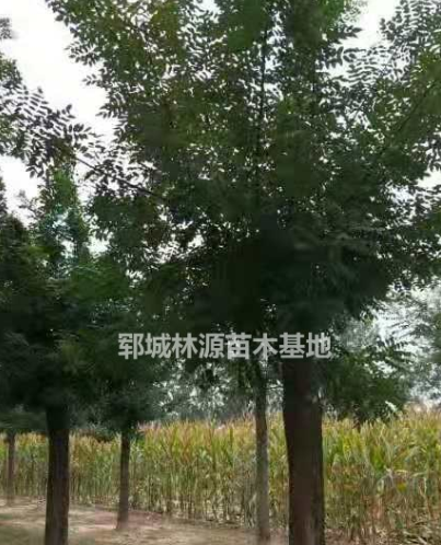 2018年山东国槐新报价