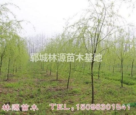 自家种植垂柳/自家低价垂柳/菏泽垂柳低价出售/低价垂柳供应
