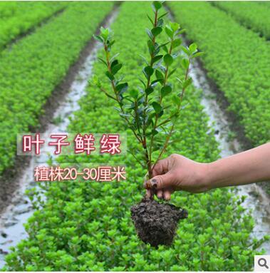 夏娟苗木 树苗庭院园林绿化苗木花苗四季常绿毛杜鹃小苗工程苗