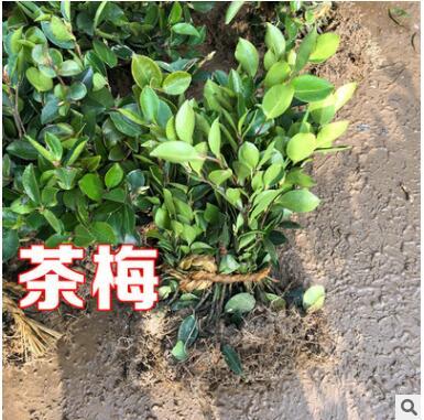 茶梅树苗庭院园林绿化苗木树苗花园植物四季常绿园林色块苗工程苗