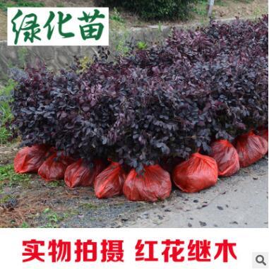 红花继木树苗四季常青 庭院绿化苗木红花檵木树苗篱笆苗花木植物