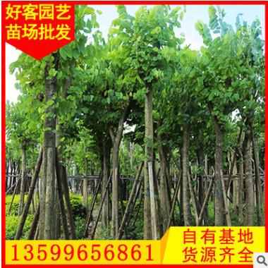 羊蹄甲批发 洋紫荆 地栽移植苗 多规格供应
