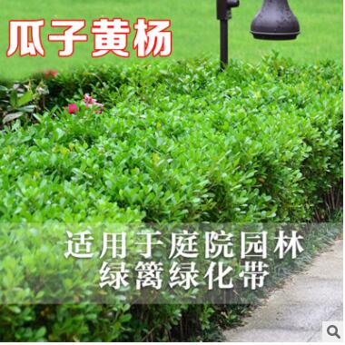 小叶黄杨树苗瓜子黄杨法国冬青苗金边黄杨庭院篱笆树苗