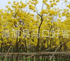 风铃木 黄花风铃木φ5-20cm 风景树 绿化苗木供应