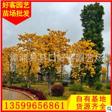 黄花风铃木价格 场地直销 绿化树苗 规格齐全φ5-20cm