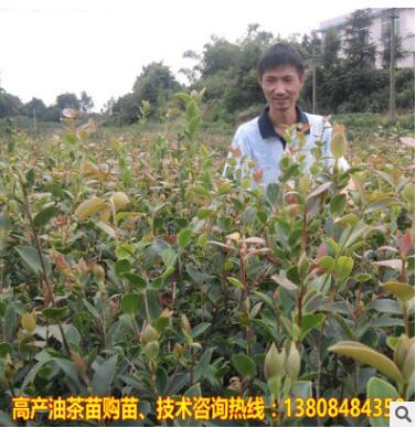 一年生嫁接油茶苗 湘林高产良种茶油树苗 地栽油茶苗 茶子果树苗