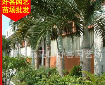 大王椰子价格 杆高1-6米 福建种植基地批发