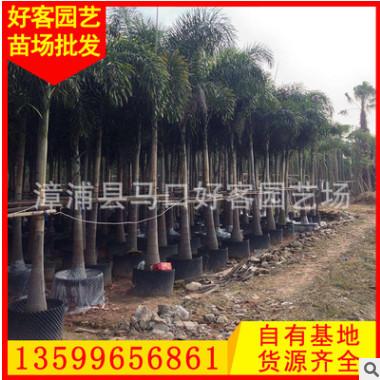 狐尾椰子价格 杆高1-6米 漳州种植基地供应