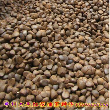 优质食用油辅料 新采油茶果油茶种子 优质大果红花油茶种子批发