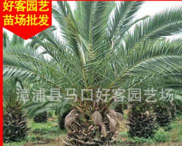 加拿利海枣 高度300 价格800元 漳州基地大量供应