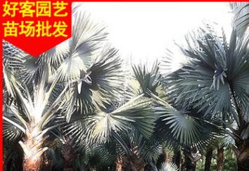 霸王棕供应 杆1-6米 地苗 袋苗 移植苗 多规格批发