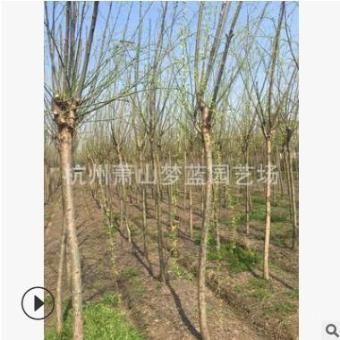 垂柳 3-15公分 品种齐全 精品苗 土球好 苗木好 优质苗 萧山苗圃