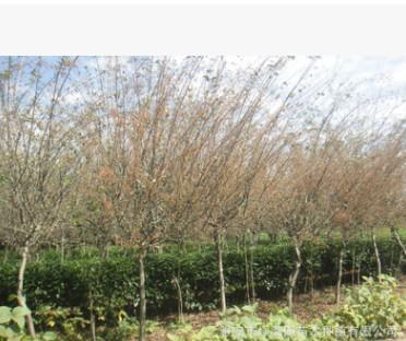 供应各种规格品种海棠(垂丝海棠、北美海棠、本地海棠)厂家直销