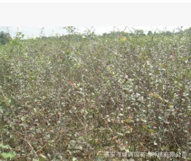 出售各种海棠苗 海棠树 品种多样 规格齐全 价格实惠