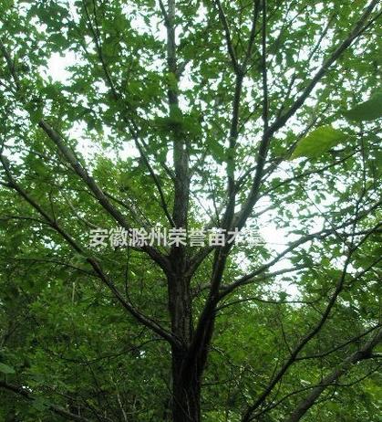 滁州丛生蒙古栎