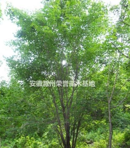 安徽蒙古栎、滁州蒙古栎供应