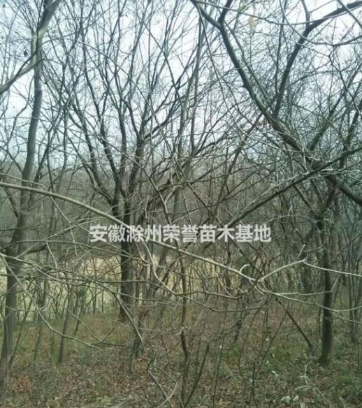 供应黄连木、滁州黄连木报价