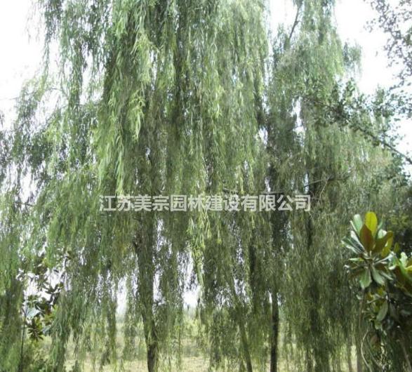 供应垂柳 金丝垂柳 绿化苗木