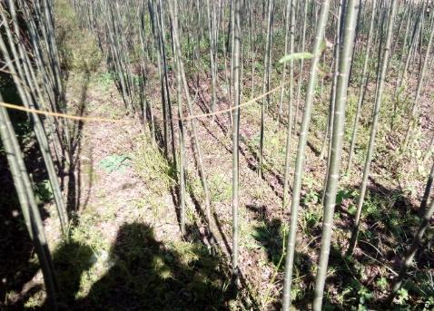 垂暴109柳树