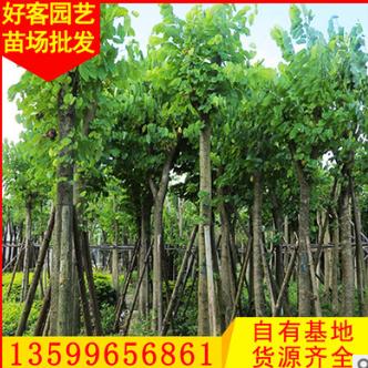 羊蹄甲价格 洋紫荆 工程景观绿化苗木供应 福建基地直销φ5-30cm