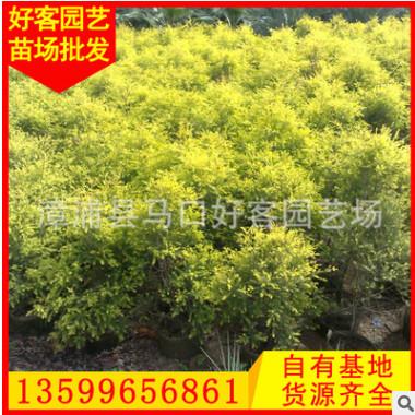 黄金宝树价格 黄金香柳 千层金 盆栽地栽 规格齐全