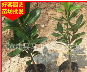 海桐 高25-30冠20 价格1.1元 漳州基地直销