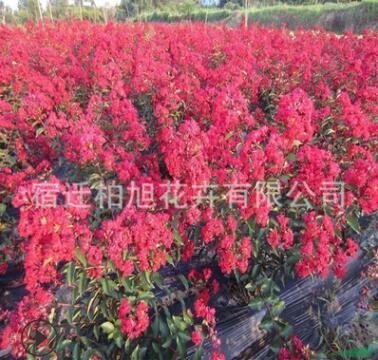 大量供应 紫薇树苗 绿化苗木 红花紫薇 园林绿化工程苗批发价格优
