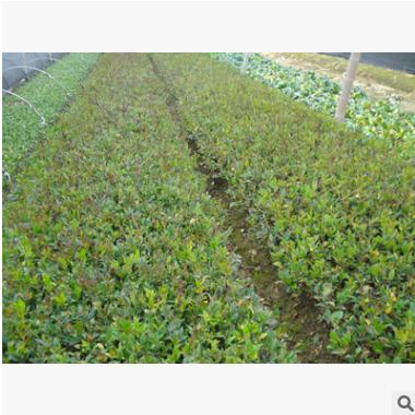 日本女贞 土球好 冠幅好 花灌木 地被 球类 色块类 草花类 乔木
