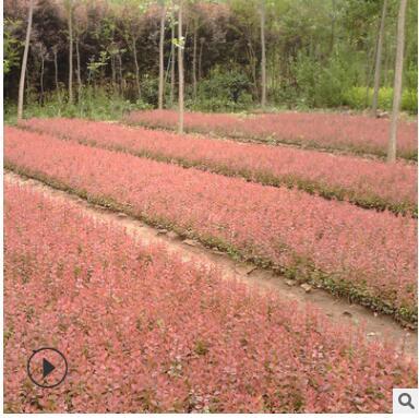 批发销售紫叶小檗苗 苗圃供应优质红叶小波小苗工程用苗规格齐全
