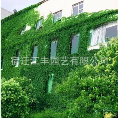 爬山虎苗爬藤植物壁挂常青庭院四季三叶五叶爬墙虎藤蔓植物