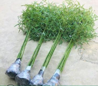 青竹竹子苗南北方庭院耐寒紫竹盆栽植物四季常青别墅种植竹苗