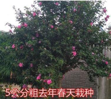 木槿树苗木槿花重瓣木槿庭院绿化工程篱笆围墙花苗当年开花耐寒