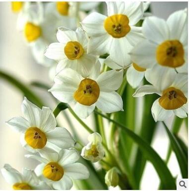 基地直销 阳台水景小品 水生植物 水仙苗水仙盆景 水仙花球苗