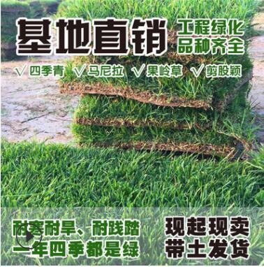 直销带泥土真草坪草皮四季青种子耐寒别墅庭院绿化果岭草皮马尼拉
