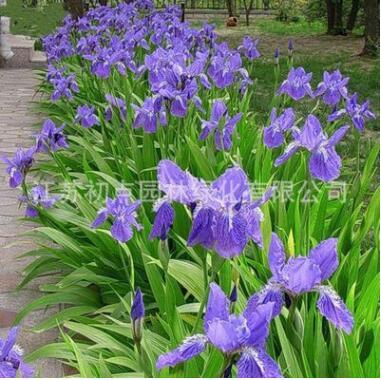批发蓝蝴蝶鸢尾花室外庭院阳台花地被花坛花卉耐阴寒草本花草植物