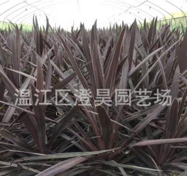 成都温江苗木 澳洲朱蕉 质量保证 产地直销 品种齐全 欢迎致电