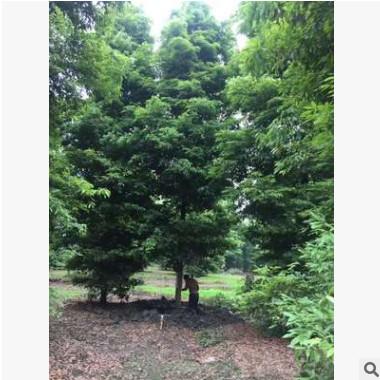 成都苗木 精品细叶桢楠 质量保证 产地直销 品种齐全 欢迎致电