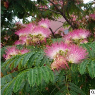 基地直销 合欢花树苗 优质道路绿化苗木 观花乔木