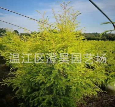 成都批发各种规格黄金香柳树形《千层金》长期提供各种品种工程苗