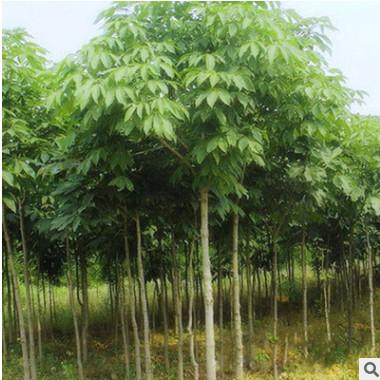 基地直销 七叶树树苗 工程绿化苗