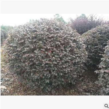 成都温江澄昊园林精品红花继木球50-2米