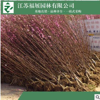 榆叶梅 庭院盆栽梅花 彩色风景树基地直销