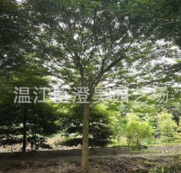 批发皂角树<皂荚>15-35公分提供各类工程苗